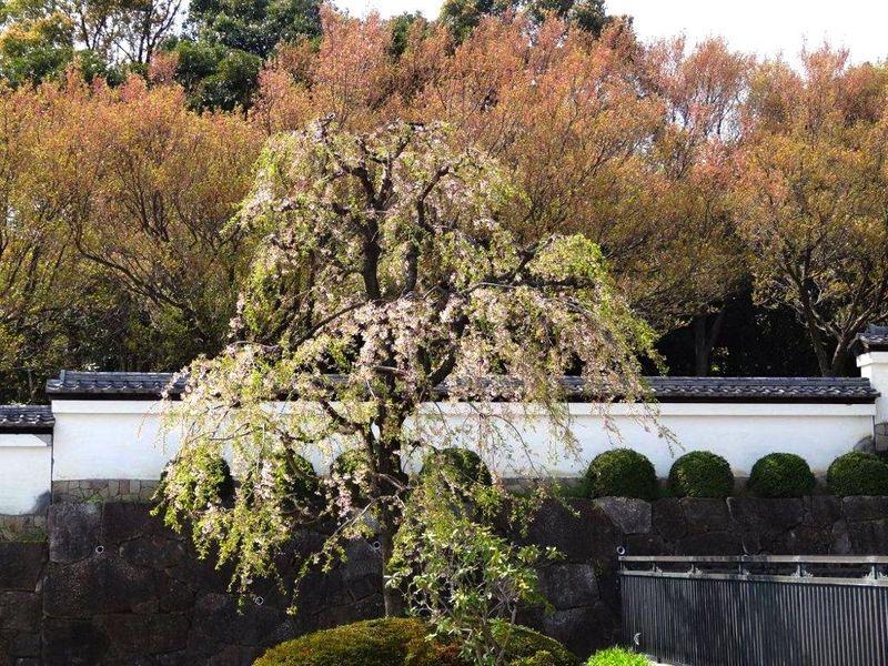 20140410korinji_shidare01