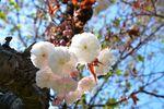 20140415hakusanjinjya_yaeshiro01
