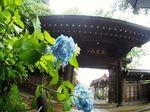 20140608myorakuji_ajisai06