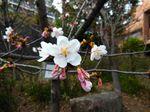 20140310asaokuyakusyo_tamanawa02