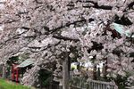 20140402nikaryo_funashimainari01