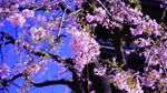 20140405korinji_shidare03