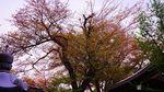 20140416hounji_someiyoshino01