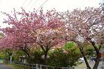 20140420hakusanjinjya_yae01