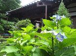 20140608myorakuji_ajisai01
