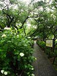 20140608myorakuji_ajisai02