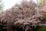 150401nikaryo_hashimotobashi04