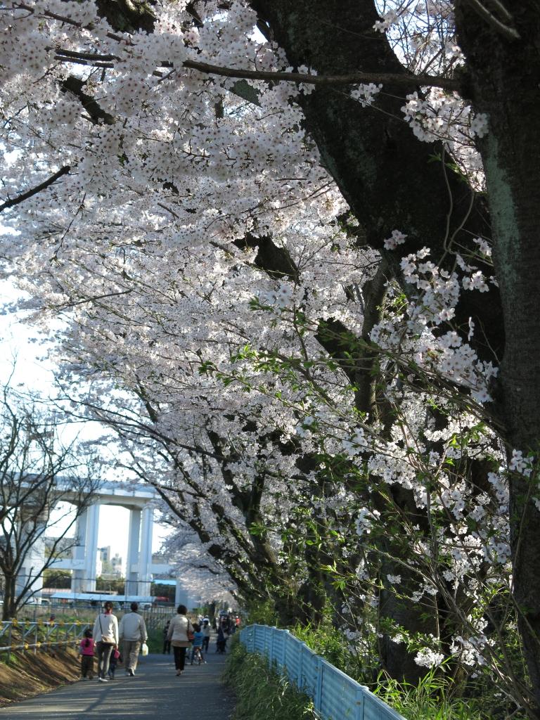 IMG_0825麻生川の桜_1
