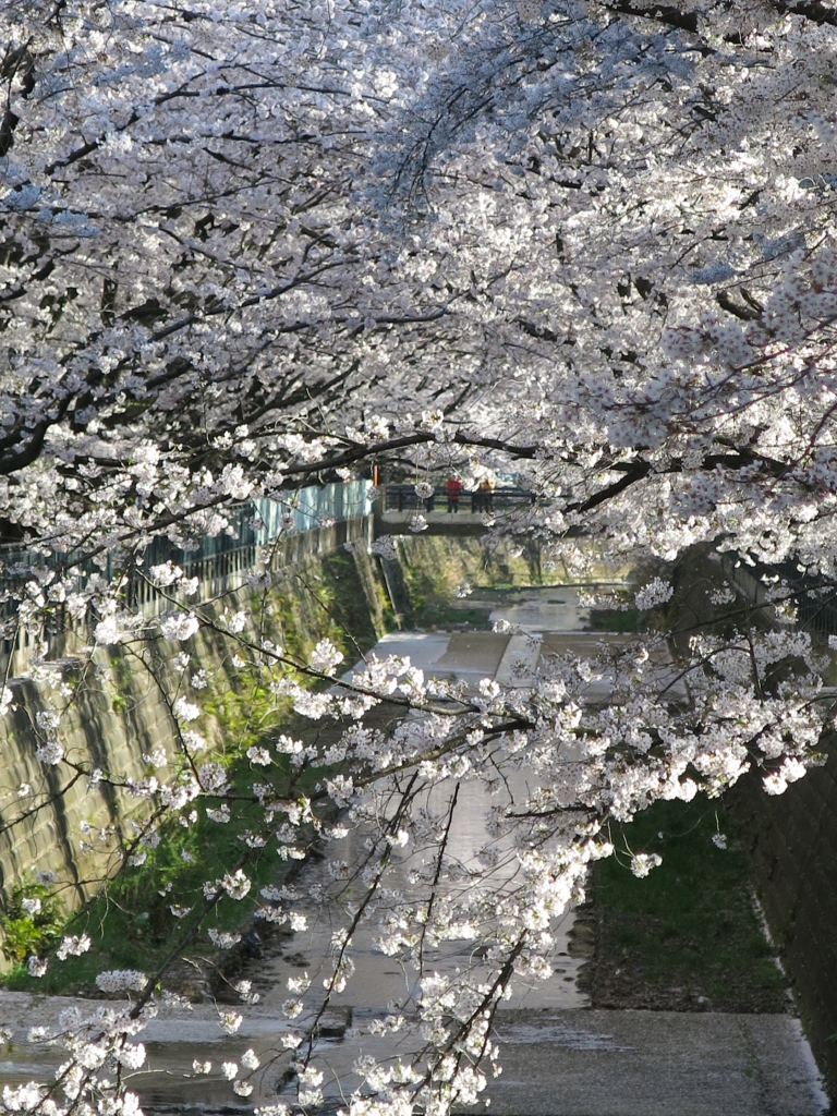 IMG_0833麻生川の桜_1