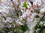 150405komae_motoizumi02