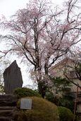 150410tamagawahi 03