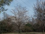 160331むじなが池桜広場山桜