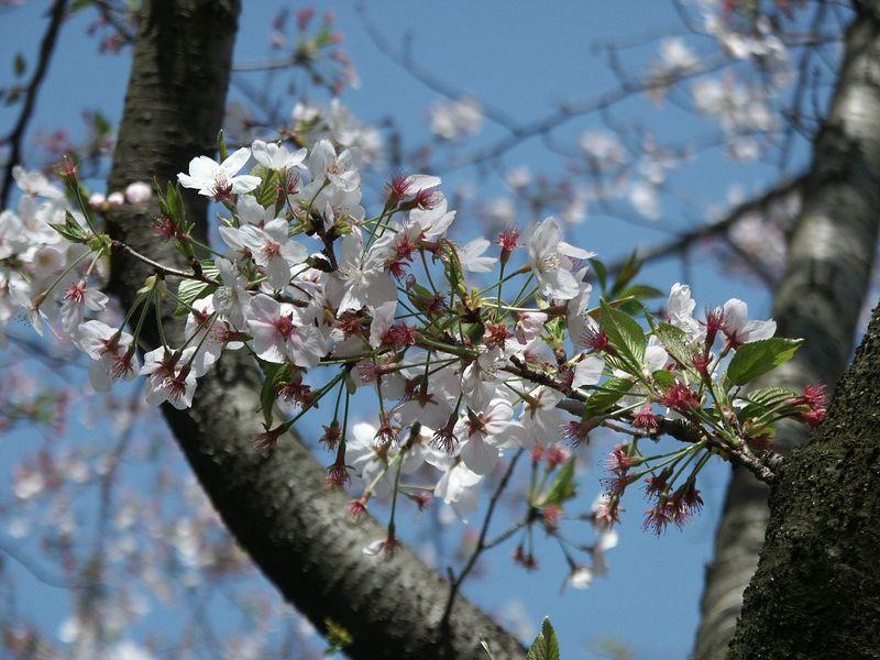 160411残った桜㈪