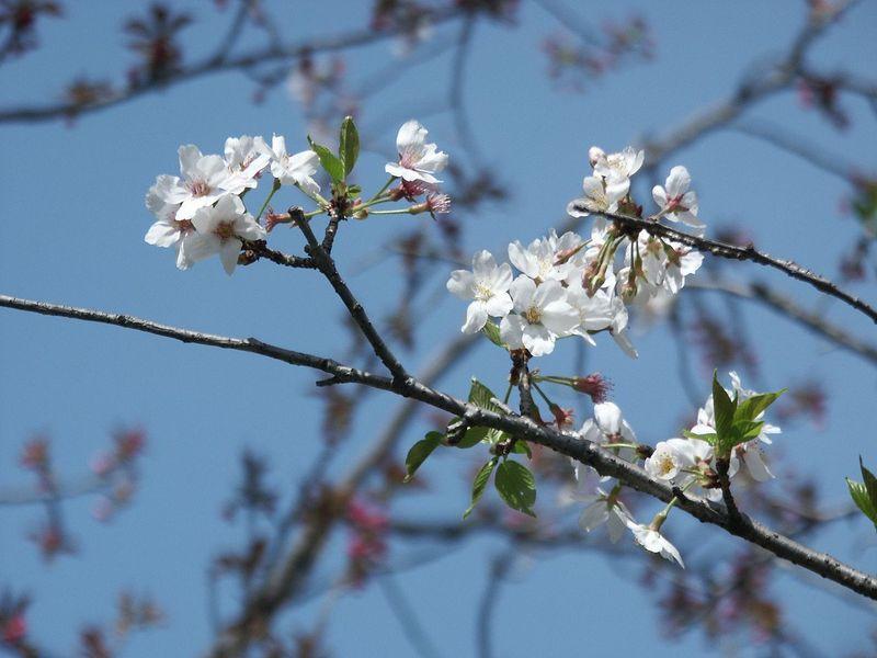 160411残った桜㈭
