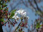 160411残った桜3