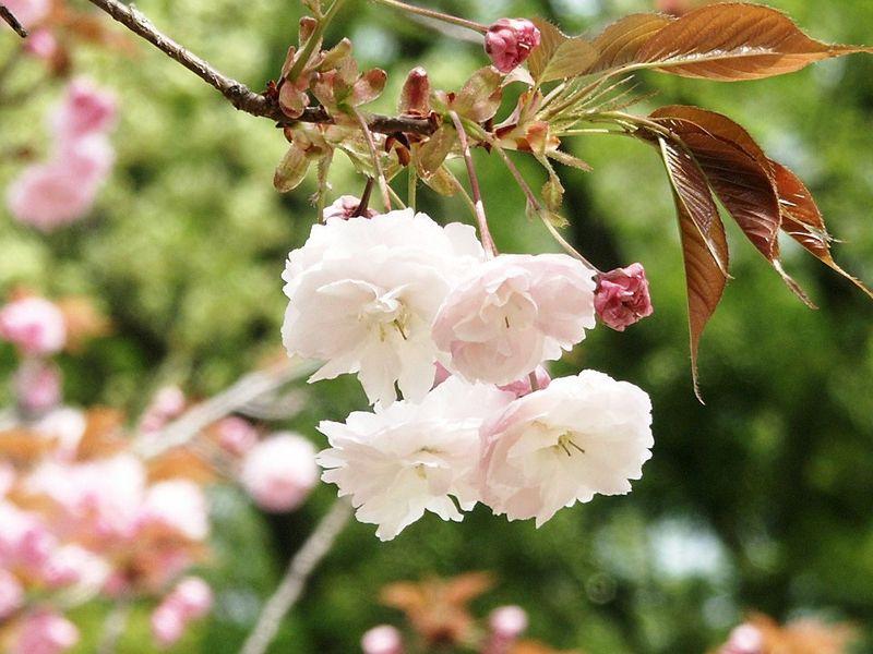 160416八重桜白