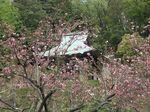 160416八重桜