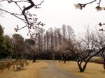 20150222todorokiryokuchi_ume01