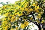 20150309nakanoshima_mimoza01
