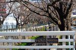 150325asaogawa_yamaguchibashi02