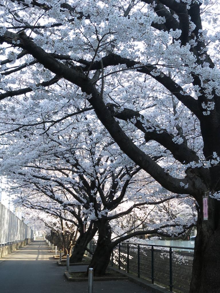 IMG_0765麻生川橋付近さくら_1