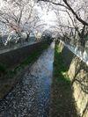 IMG_0828麻生川の桜_1