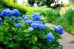 150605nikaryo_konya-hashimoto_ajisai04