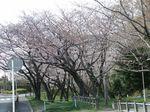 160331白山神社桜トンネル