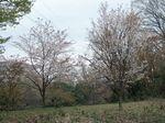 160403桜の丘の山桜