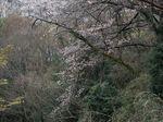 160403山桜風情