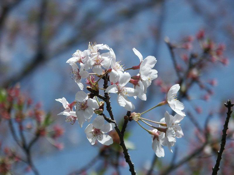 160411残った桜㈬