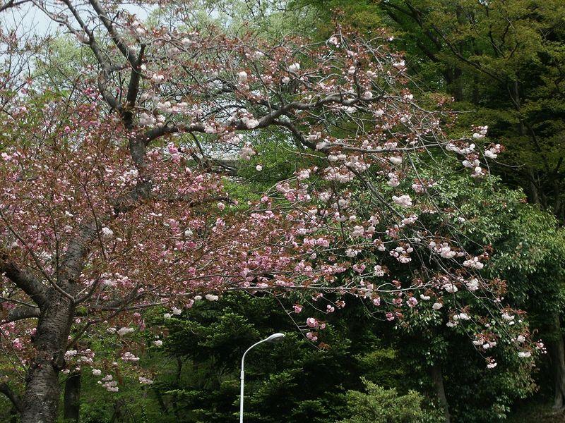 160416八重桜㈪