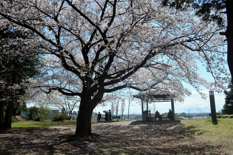 弘法の松1