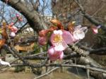 IMG_1216麻生区役所の河津桜 (1024x768)