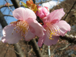 IMG_1217麻生区役所の河津桜 (1024x768)