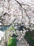 IMG_0771山口橋付近さくら_1