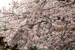 150401nikaryo_hashimotobashi01