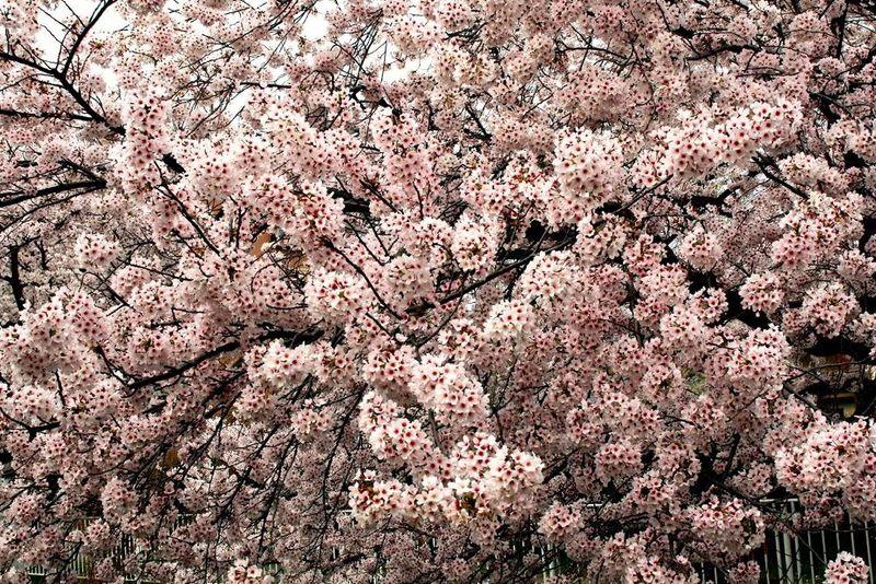 150401nikaryo_hashimotobashi02