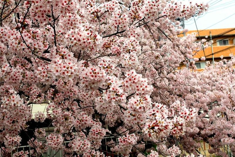150401nikaryo_hashimotobashi03