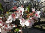 IMG_0837麻生川の桜_1