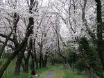 160403桜トンネル