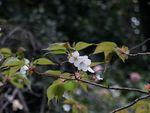 160403山桜