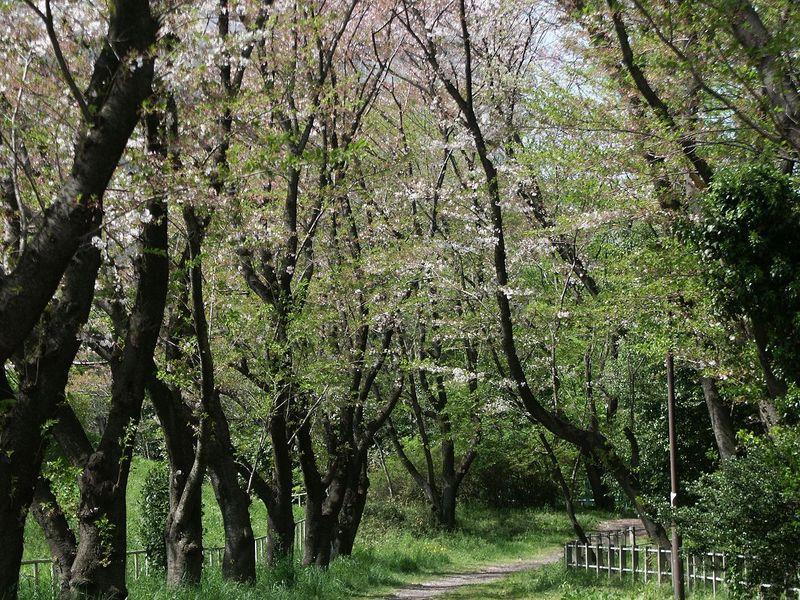 160411桜トンネル