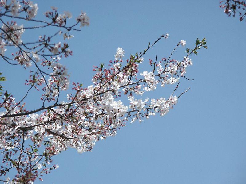 160411残った桜