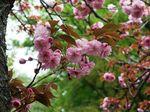 160416八重桜赤