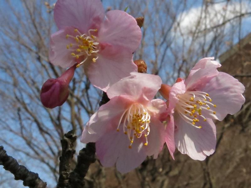 IMG_1215麻生区役所の河津桜 (1024x768)