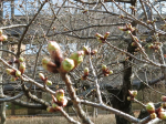 IMG_1218麻生区役所の玉縄桜 (1024x768)
