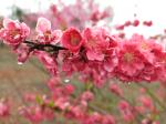 IMG_1301栗平の花桃_1