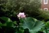 Hasu IMG_0055