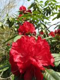 IMG_0220高蔵寺石楠花
